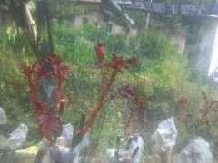 月季下山桩地栽怎么移植盆栽的方法 图片