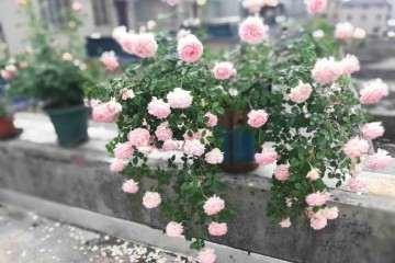 盆栽亚伯月季用什么肥料 最好 图片