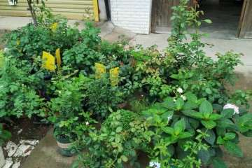 你们有盆栽月季露天养的吗 怎么样 图片