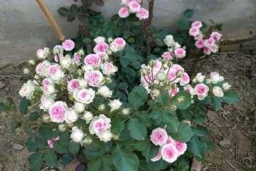 怎么样 月季花都比盆栽大好多 图片