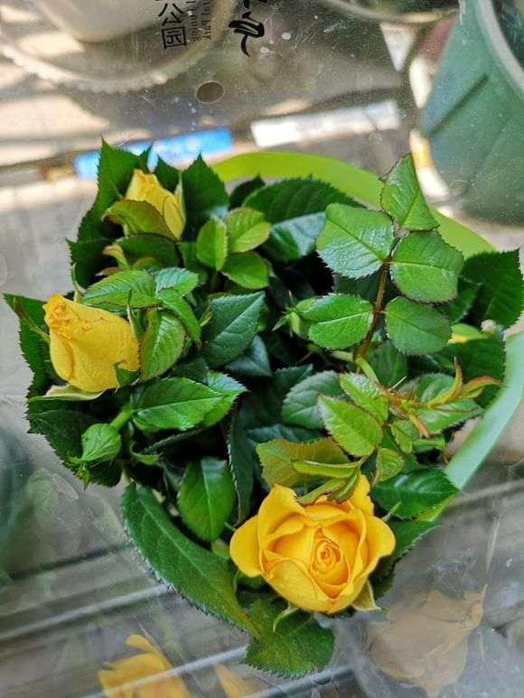月季盆栽玫瑰 怕养死 怎么办 图片