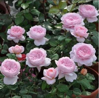 瑞典女王月季适合盆栽吗 怎么样 图片