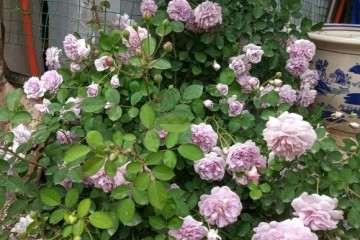 为什么月季盆栽挺耐寒 冬天没问题