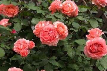 盆栽月季室外多少度时移叫到室内 图片