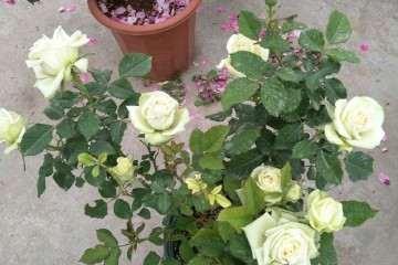 月季盆栽零下几度就可以搬室内 图片