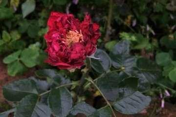 为什么红龙月季 还是盆栽比较安全 图片