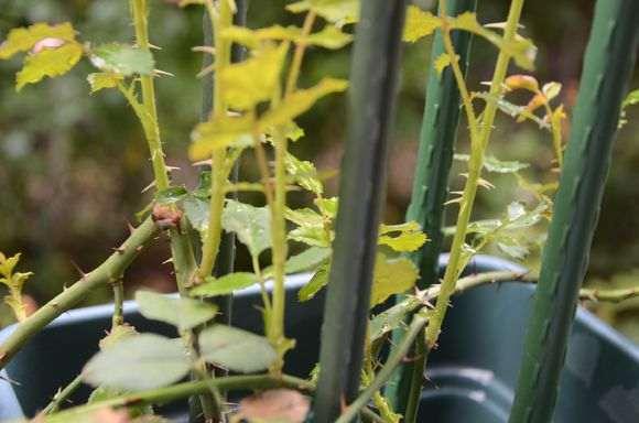 秋季盆栽灌木月季怎么修剪的方法
