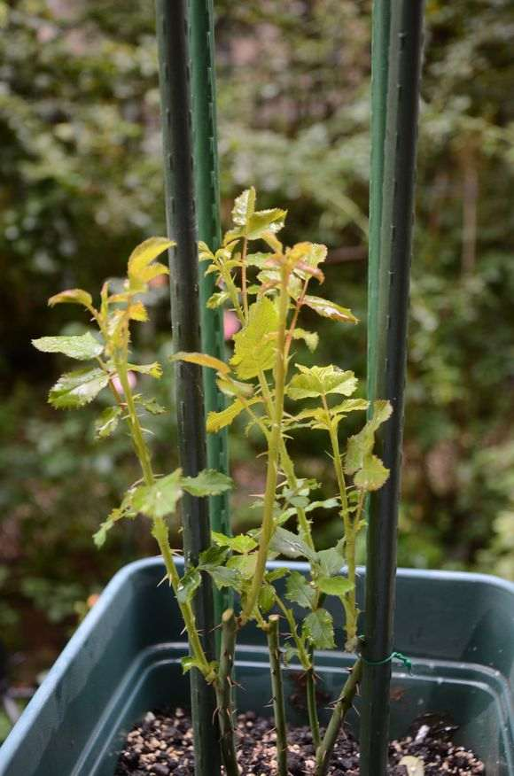 10月 怎么修剪月季盆栽的方法 图片