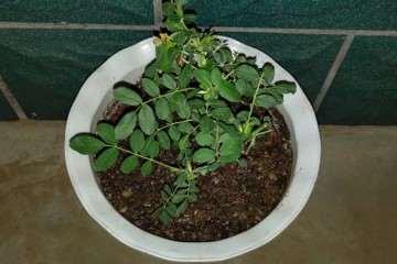 为什么盆栽月季要见湿见干 图片