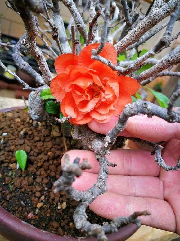 长寿梅盆景怎么种植养护的方法 图片