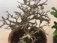 长寿梅下山桩有枯枝怎么处理的方法