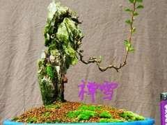 冬季长寿梅下山桩怎么养护的方法 图片