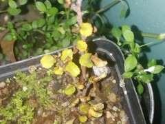长寿梅下山桩叶子发黄 怎么办 图片