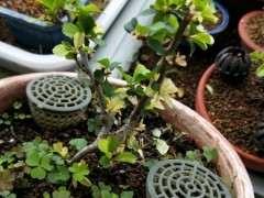 长寿梅下山桩的叶子是怎么回事 图片