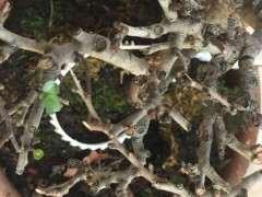 长寿梅下山桩 这是枯枝了吗 怎么办 图片