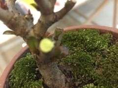长寿梅下山桩用什么土种植 最好 图片