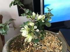 白花长寿梅下山桩 不开红花 怎么办
