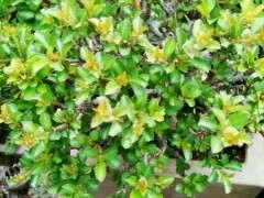 红花长寿梅下山桩怎么摘叶修剪 图片
