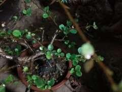 长寿梅下山桩叶子有白色的斑点 怎么办