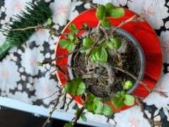 长寿梅下山桩叶子有斑点 怎么办 图片