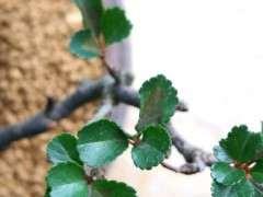 长寿梅下山桩叶子发黑 怎么办 图片