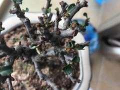 长寿梅下山桩小白虫用什么药水清理
