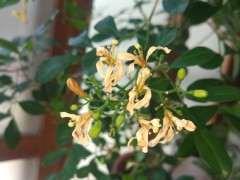 九里香下山桩花朵 开一天就败了 图片