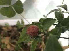 九里香下山桩的果实 还没芽 怎么办 图片