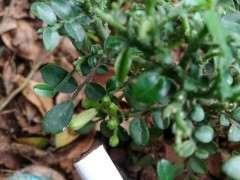 为什么小叶九里香下山桩是会开花 图片