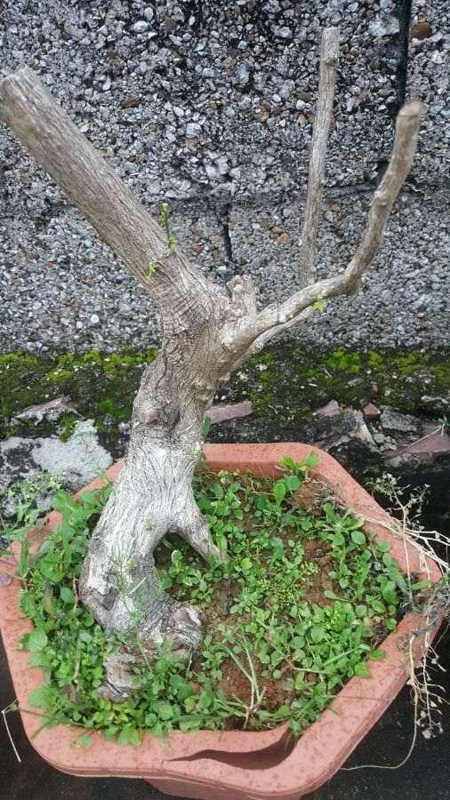 九里香下山桩已经长芽长根了怎么样 图片