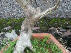 九里香下山桩已经长芽长根了可以吗 图片