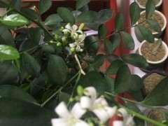 九里香下山桩在春天开花了 怎么办 图片
