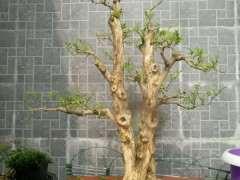 九里香下山桩一般移栽几年开花啊 图片