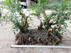 怎么移栽丛林九里香下山桩的方法 图片