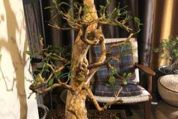 九里香盆景怎么蓄杆截枝的办法 图片