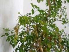 九里香下山桩老是掉叶子要掉没 图片