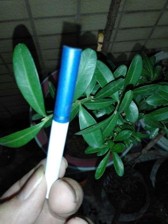 这是黄杨 还是九里香下山桩 怎么区别 图片