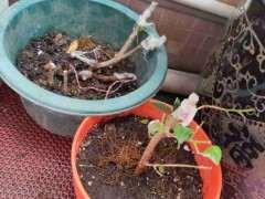 九里香下山桩扦插多久生根发芽 图片