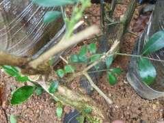 3月 九里香下山桩种下多久发芽 图片