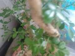 九里香下山桩怎么沙种发芽的方法 图片