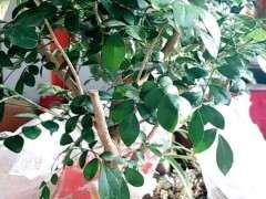 九里香下山桩干叶掉叶什么原因 图片