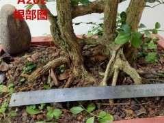 九里香下山桩怎么洗根换盆的方法 图片