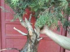 侧柏下山桩怎么种植养护的方法 图片