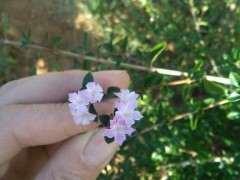 六月雪下山桩四个品种都有花 可以吗