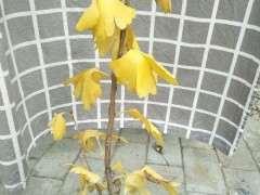 银杏下山桩盆栽怎么修剪造型的方法 图片