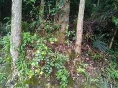 银杏下山桩大树桩 看看可以吗 图片
