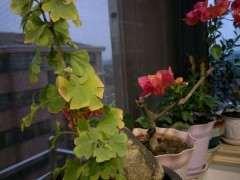 银杏下山桩叶子发黄掉了 怎么办 图片