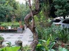 我在小区种银杏下山桩 被物业换成了铁树