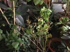 银杏下山桩怎么区分公树母树 图片