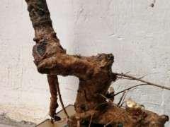 挖回来的紫藤下山桩 可以吗 图片